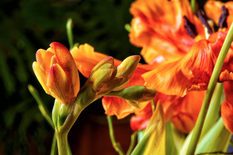 Freesien und Tulpen